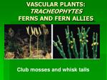 VASCULAR PLANTS: TRACHEOPHYTES FERNS AND FERN ALLIES