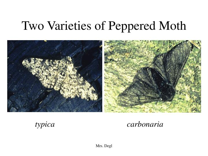 two varieties of peppered moth n.