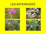 LES ASTERACEES