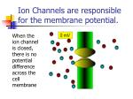 Ion Channels are responsible for the membrane potential.