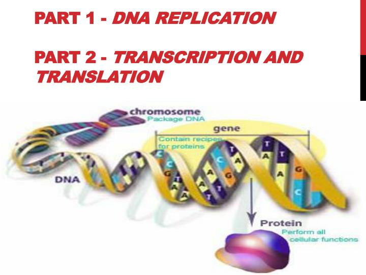 part 1 dna replication part 2 transcription and translation n.